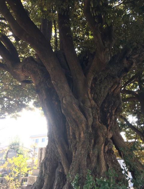 谷中霊園の大木